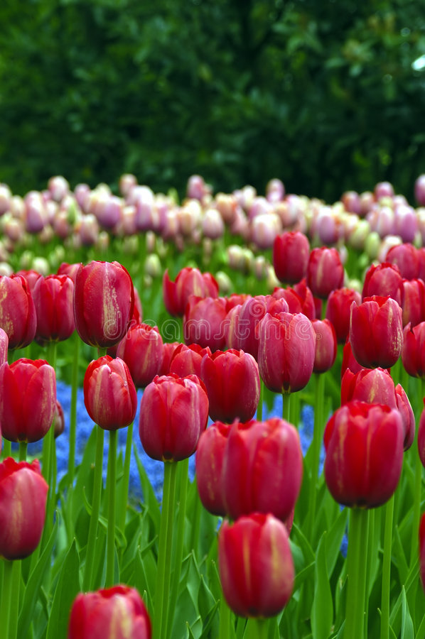Download Tulip fields stock photo. Image of linden, season, pink - 1927336