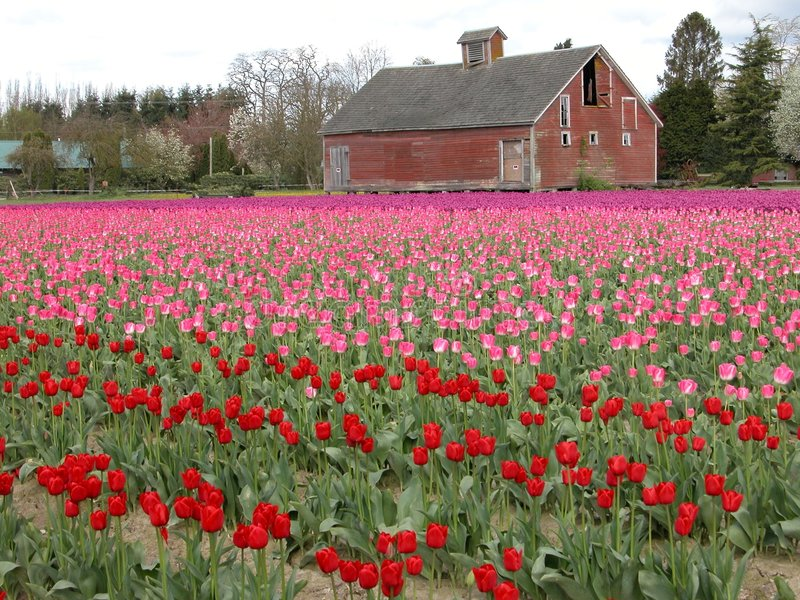 Tulip Fields. An old red barn with thousands of tulips surrounding it royalty free stock image