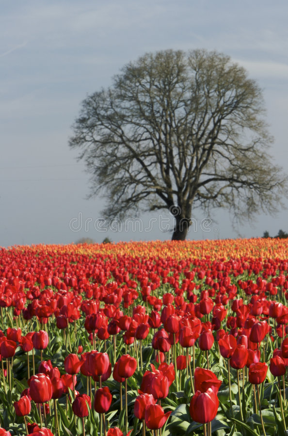 Download Tulip Fields stock photo. Image of stem, outside, outdoors - 2240206