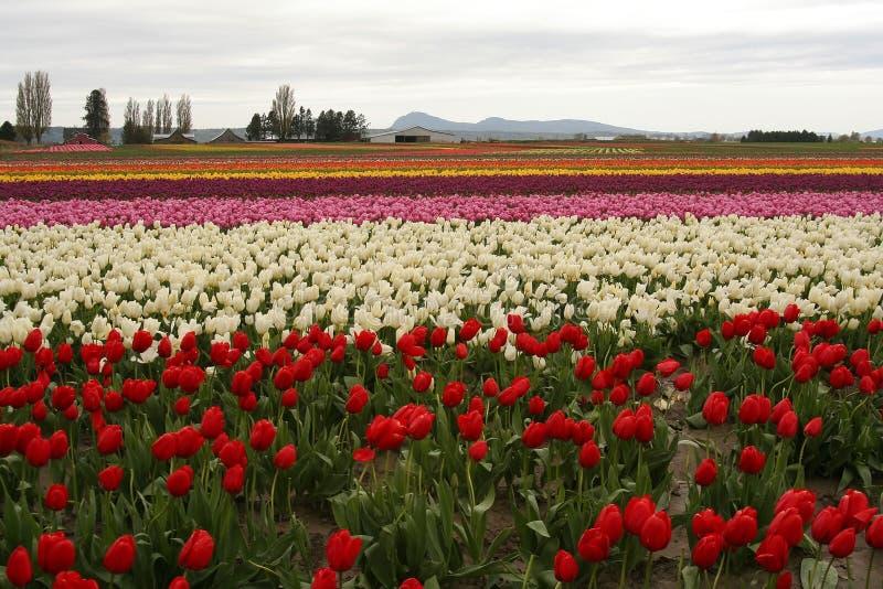Tulip fields stock image
