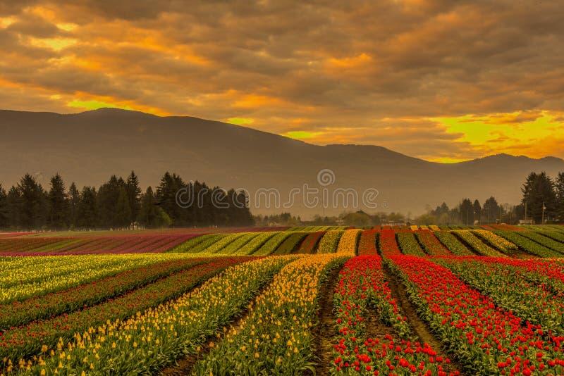 Tulip Fields lizenzfreies stockfoto