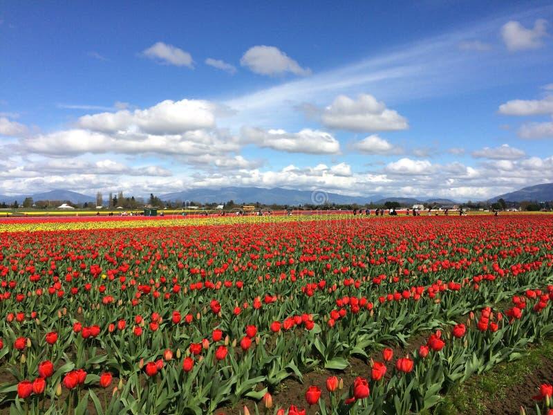 Tulip Fields imágenes de archivo libres de regalías
