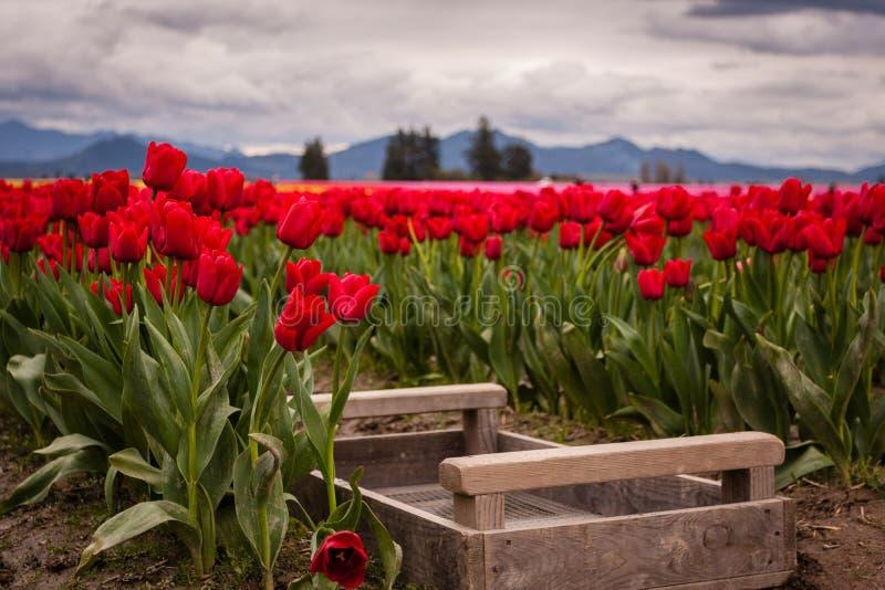 Tulip Fields royalty-vrije stock foto