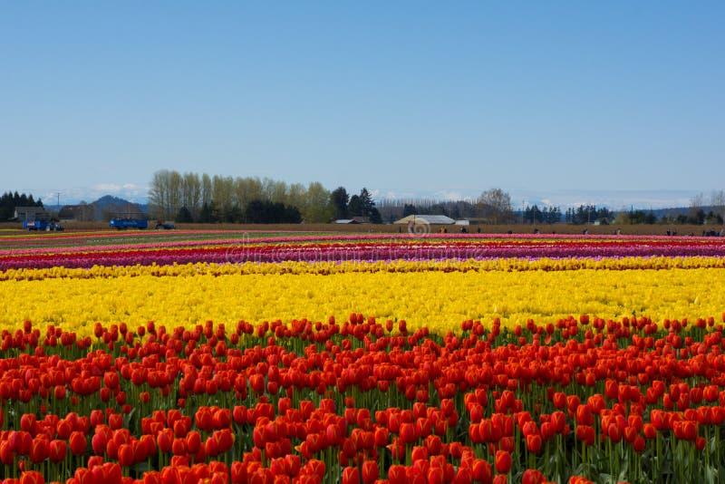 Tulip Fields fotografía de archivo libre de regalías