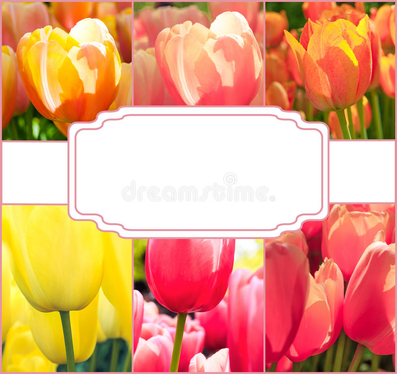 Tulip fields collage of different tulips stock image