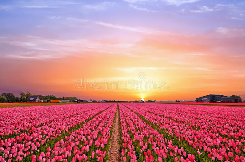 Download Tulip Fields In The Countryside From The Netherlands In Spring Stock Photo - Image of netherlands, sunset: 94099784