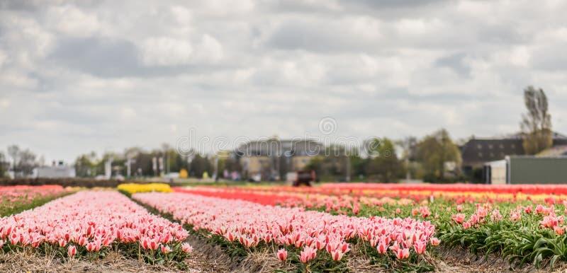 Tulip fields. stock photo