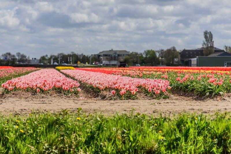 Tulip fields. stock photography