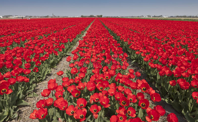 Tulip fields in The Netherlands. Colorful tulip fields near Hillegom / Lisse in The Netherlands royalty free stock image