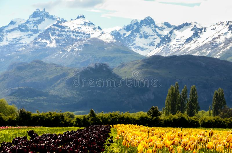Tulip fields in Patagonia with mountains background stock photos