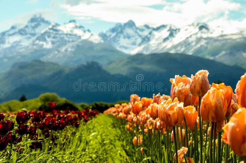 Tulip fields in Patagonia with mountains background stock photography