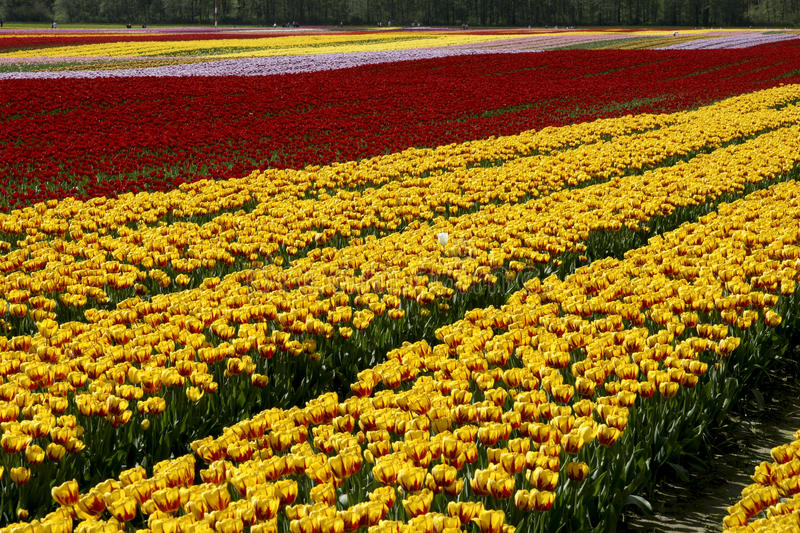 Download Tulip Fields Rows stock image. Image of colourful, fields - 13935413