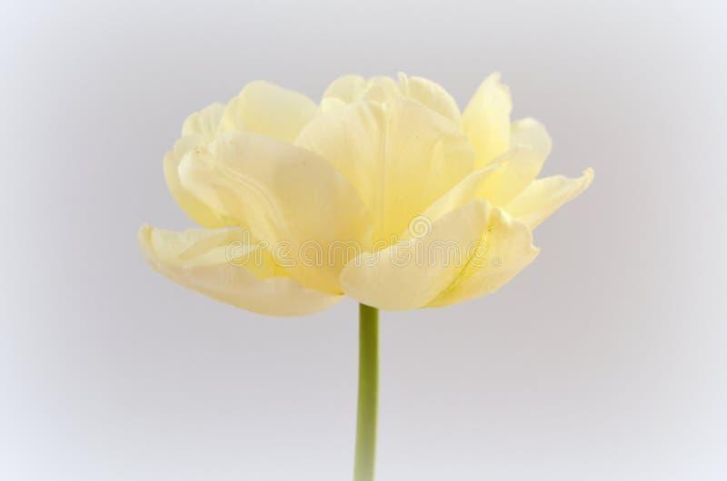 Tulip Finola e vanguarda Terry cedo fotografia de stock royalty free