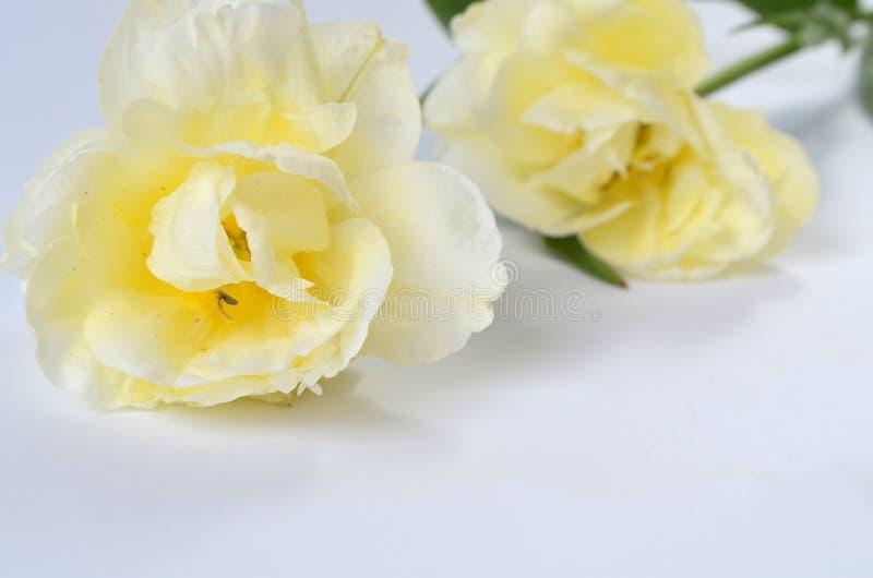Tulip Finola Terry och Avan garde försiktig guling royaltyfria bilder