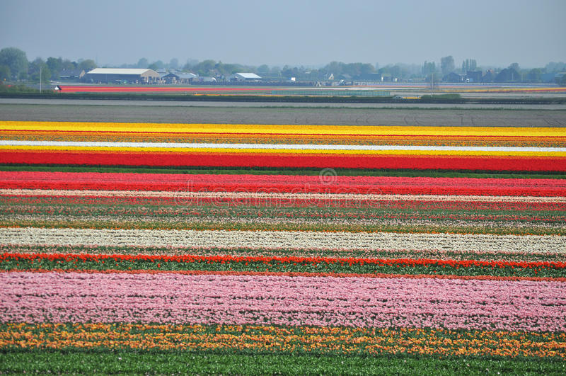Tulip flourishing in Holland. During the spring time in the Netherlands the tulip flourishing is world famous. Many people visit the well known Keukenhof near stock photography