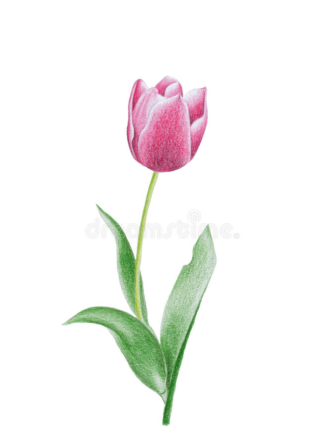 Download Tulip flower stock illustration. Image of natural, grow - 16215492
