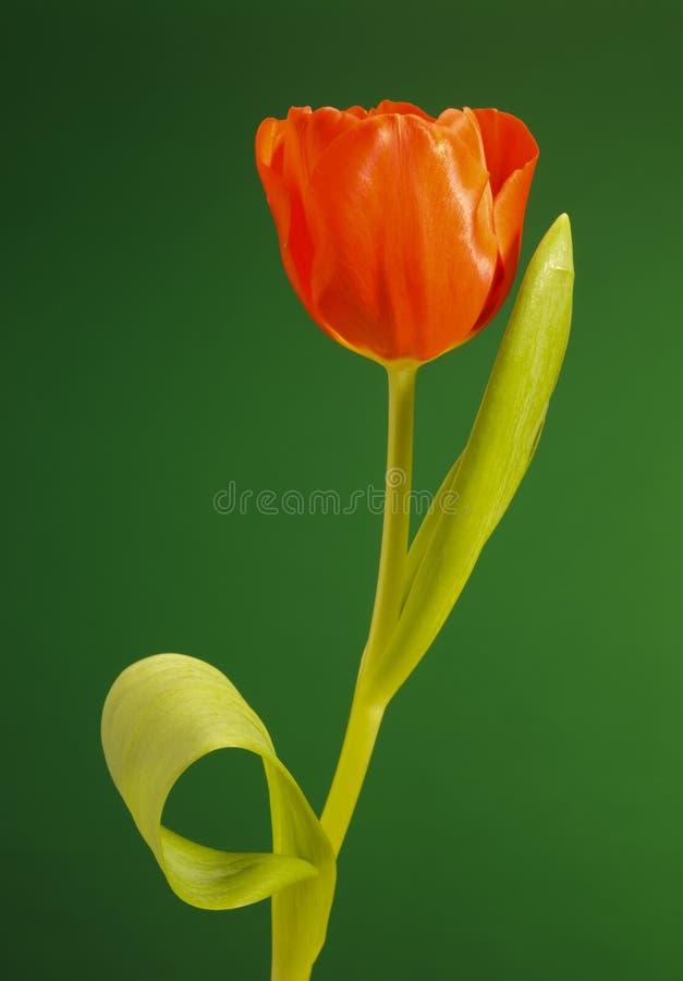 Tulip Flower Royalty Free Stock Photo