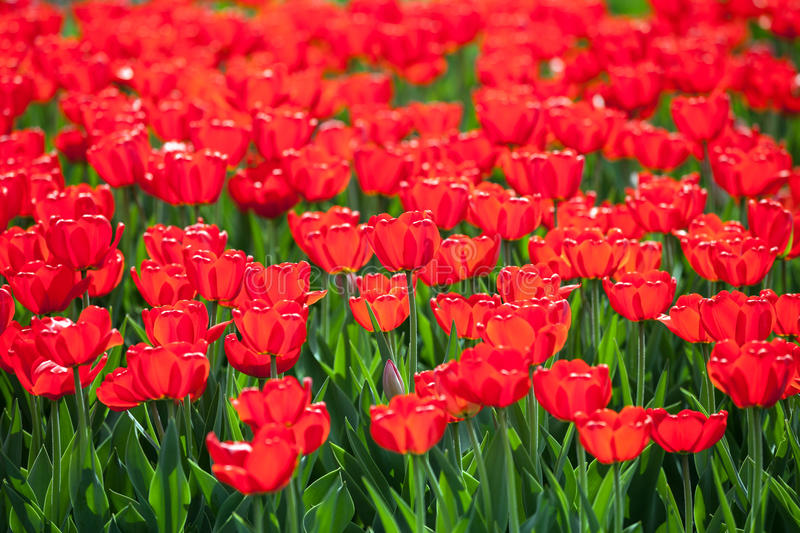 Download Tulip flower stock image. Image of park, field, beautiful - 24865623