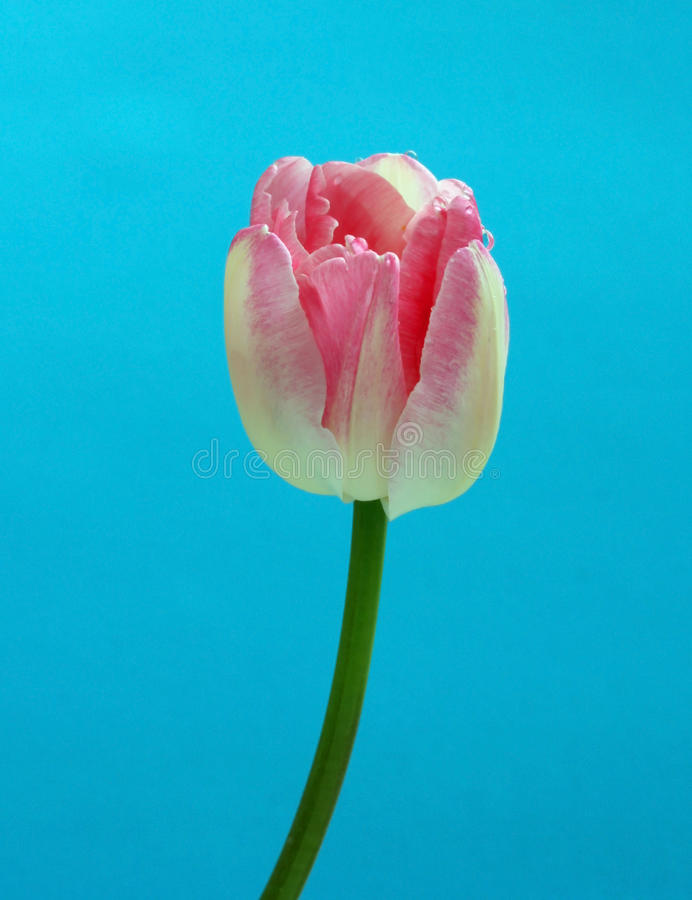 Download Tulip flower stock image. Image of birthday, colorful - 25645715