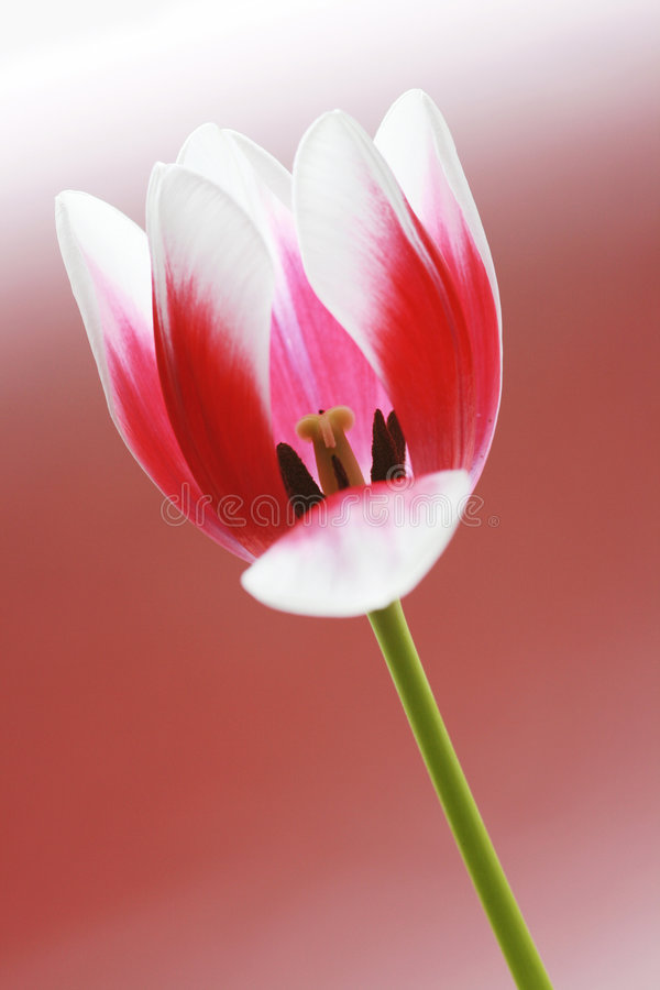 Download Tulip flower stock image. Image of colorful, lovely, green - 4575349