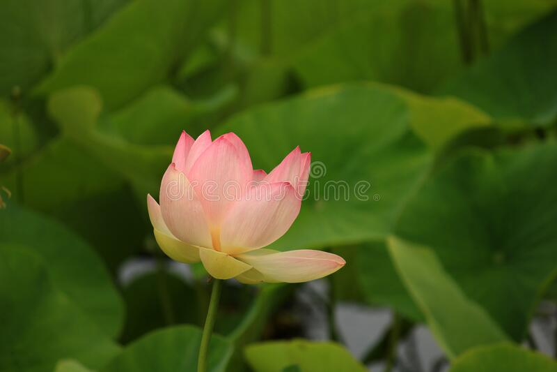 Tulip Flower Free Public Domain Cc0 Image