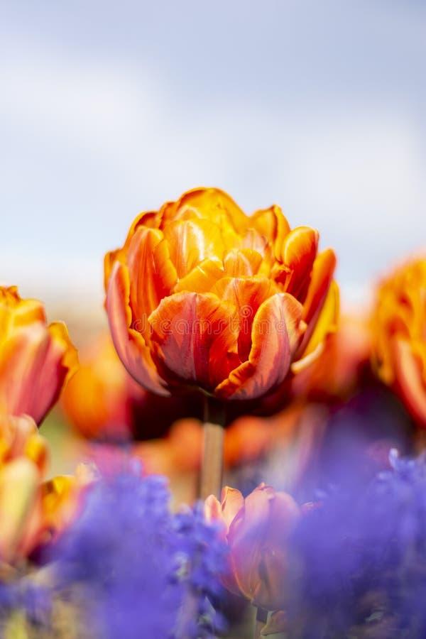 Tulip Flower arancio con il verticale blu porpora vago 2 dei fiori della priorità alta fotografia stock libera da diritti