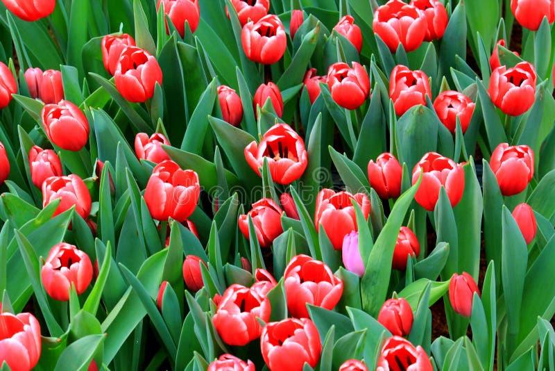 Tulip Flower Background stock afbeelding