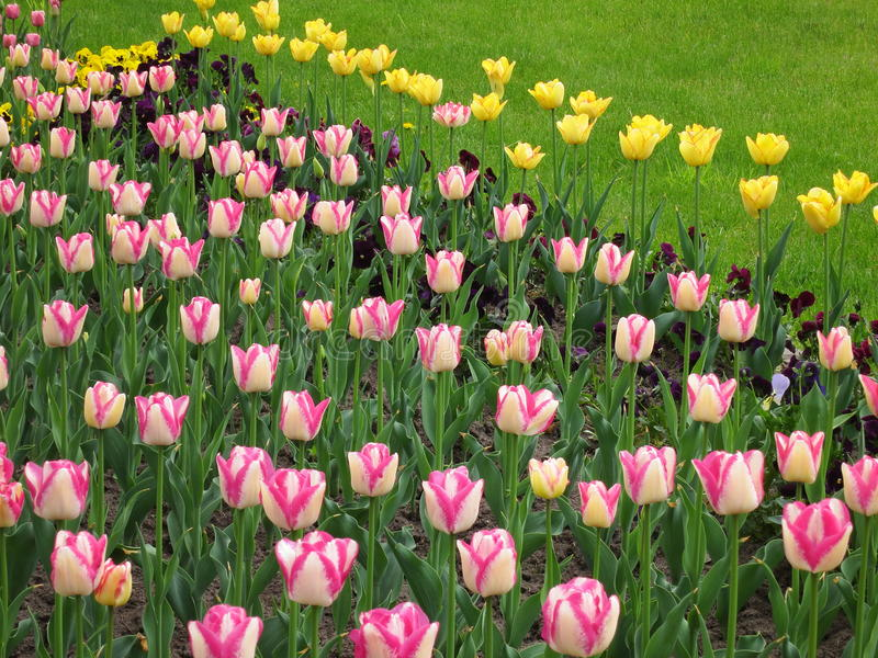 Tulip Flower Background - de Voorraadfoto's van de Lentebloemen stock foto