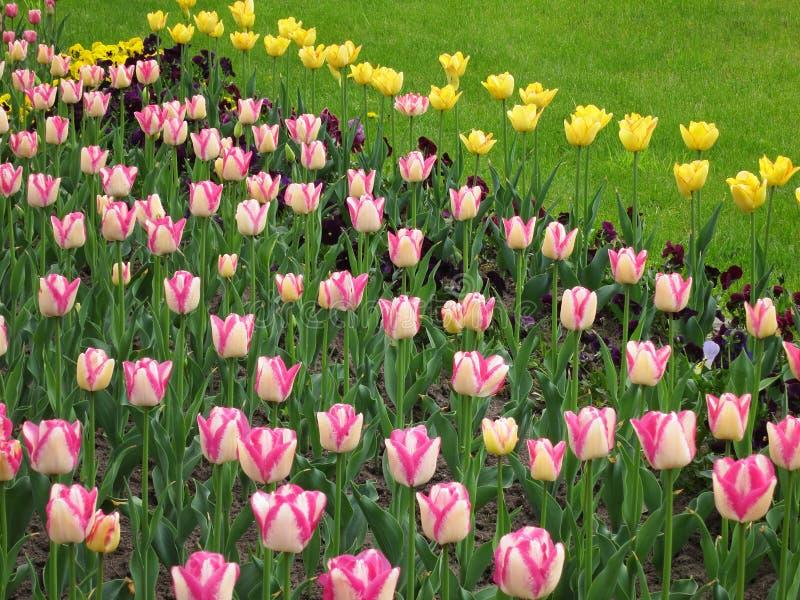 Tulip Flower Background - le ressort fleurit les photos courantes photo stock