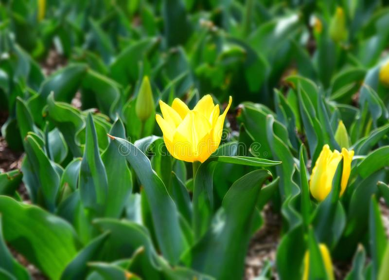 Beautiful tulips in tulip field with green leaf royalty free stock photo