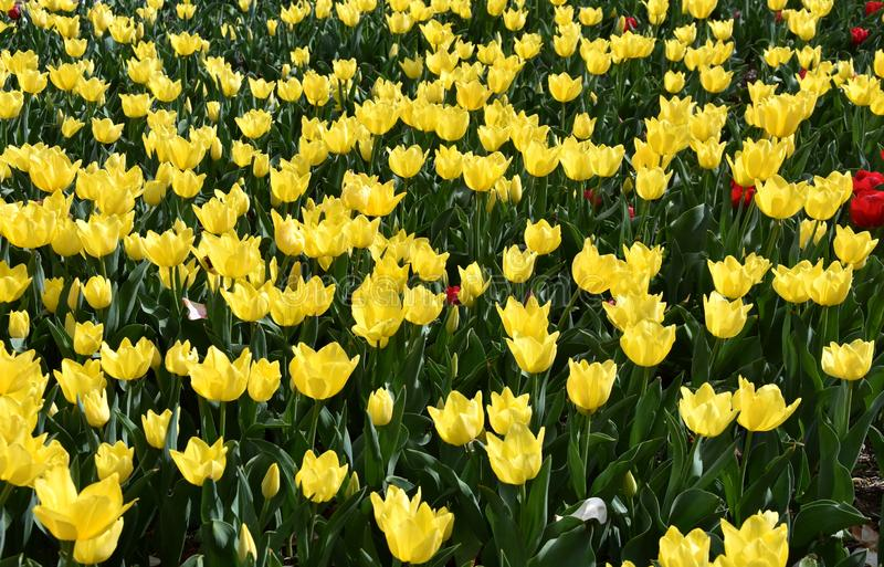 Beautiful tulips in tulip field with green leaf stock photo