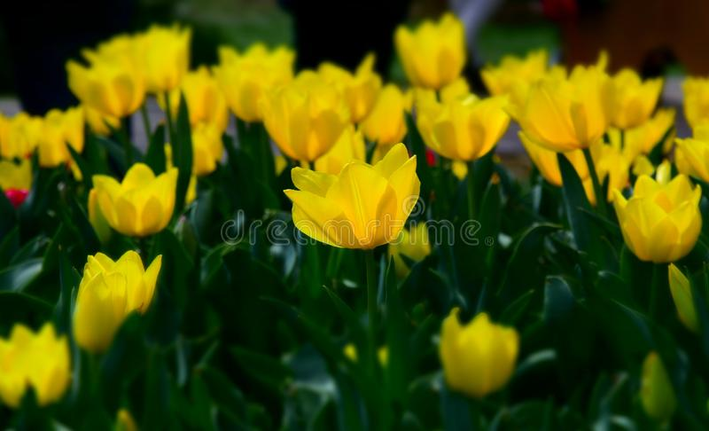 Beautiful tulips in tulip field with green leaf royalty free stock photography