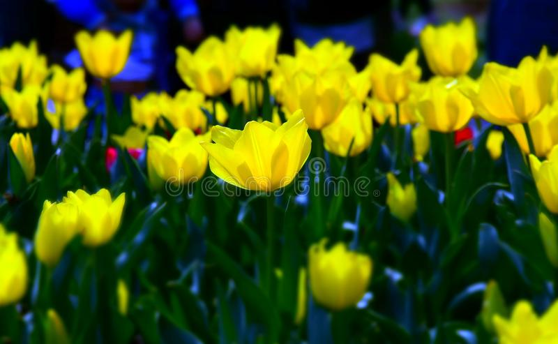 Beautiful tulips in tulip field with green leaf royalty free stock image