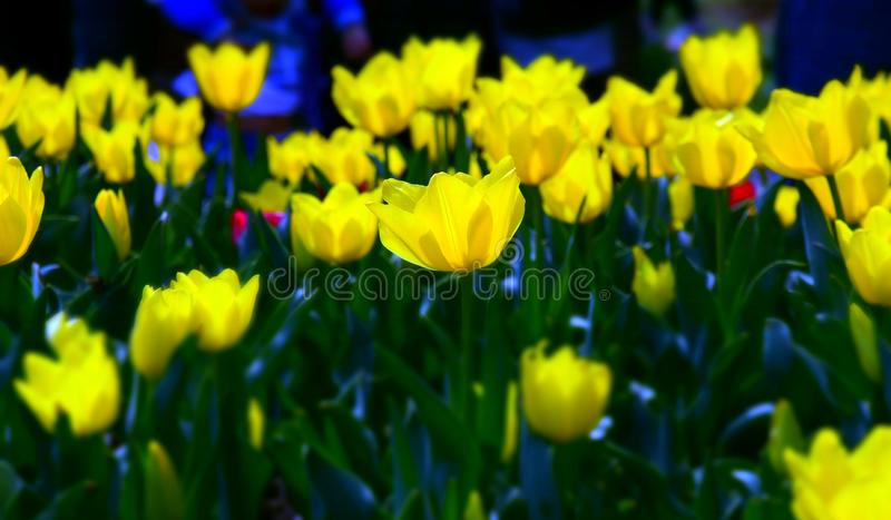 Beautiful tulips in tulip field with green leaf stock photos