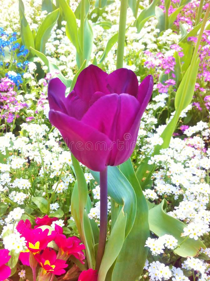 Tulip flower. Beautiful tulips in tulip field. stock images