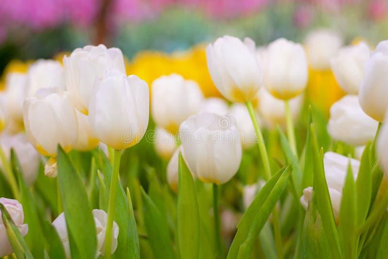 Tulip Flower blanche et jaune dans le jardin Beau bouquet des tulipes photos libres de droits