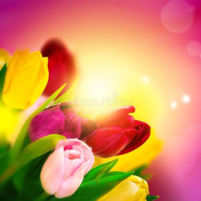 Tulip flower blossom bouquet over pink background and sun shine. Greeting card template. Toned image royalty free stock photography