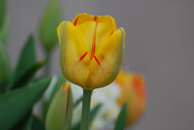 Tulip Flower Blossom Streaked amarilla con rojo foto de archivo