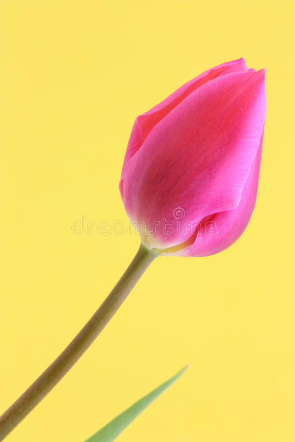 Tulip Flower Easter / Mothers Card - Stock Photo stock photo
