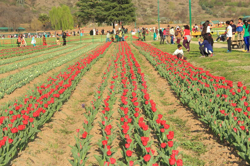 Tulip flower field in kashmir. stock photos