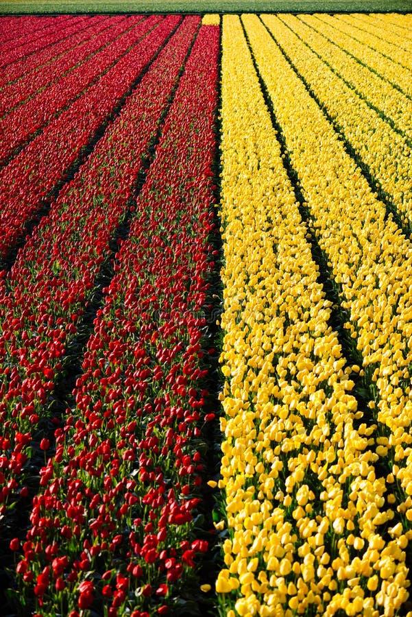 Tulip Flower Fields stock afbeelding