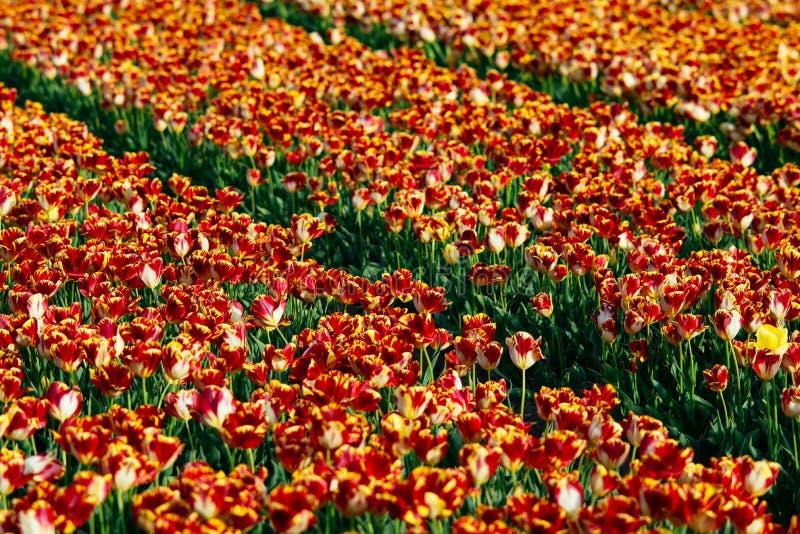 Tulip Flower Fields royalty-vrije stock foto's