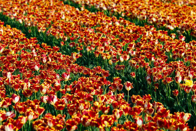 Tulip flower fields royalty free stock photos