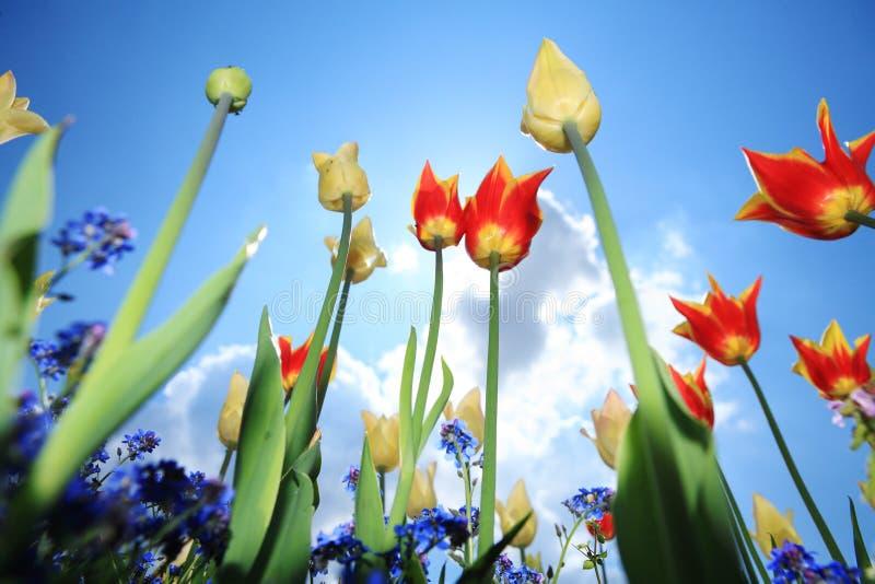 Download Tulip flower garden stock image. Image of clouds, sunshine - 5118533