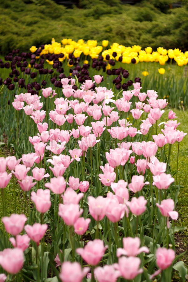 Tulip flower garden in spring. Pink and Yellow tulip flowers royalty free stock photo