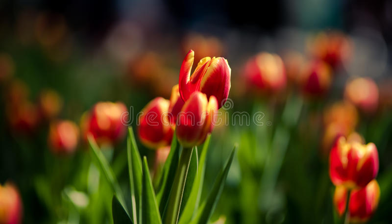 Tulip stock photography