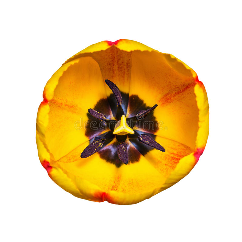 Tulip Flower jaune sur le blanc image stock