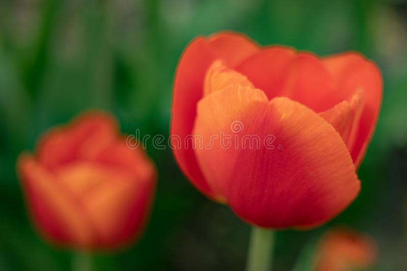 Red tulips on a green background of foliage in early spring stock photography