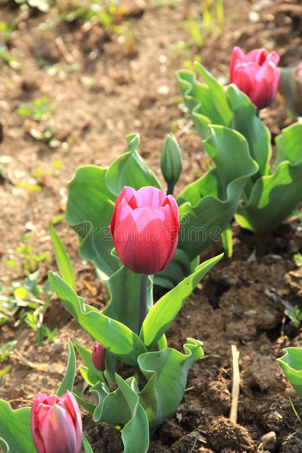 Tulip Flower. stock photo