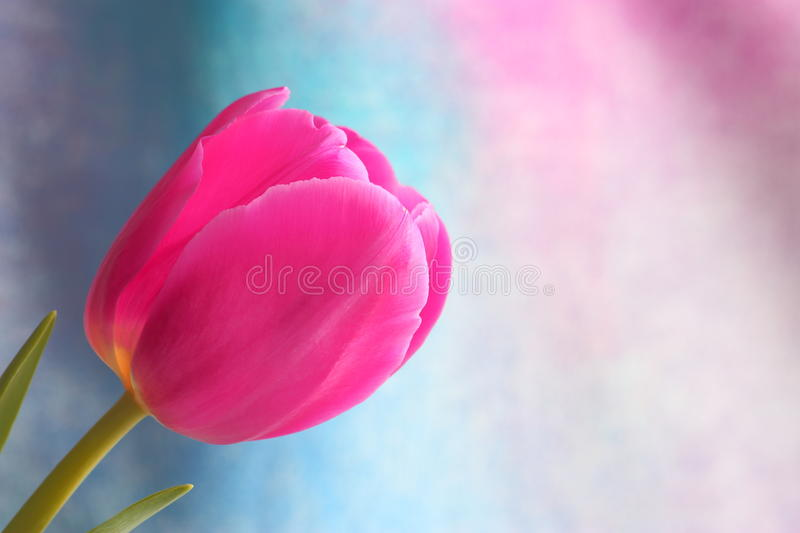 Tulip flower : Mothers Day Valentines Stock Photos. Tulip flower - Mothers Day / Valentines Day or Easter Card : pink tulip on blue purple background stock image